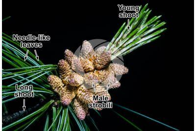 Pinus wallichiana. Himalayan pine. Male strobilus