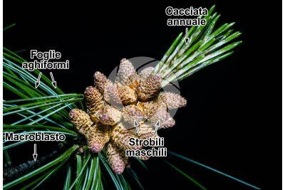 Pinus wallichiana. Pino dell'Himalaya. Strobilo maschile
