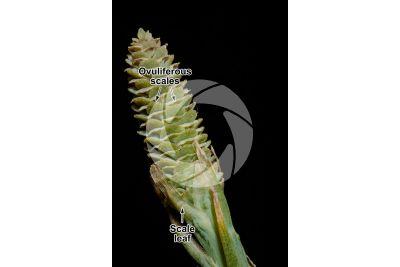 Pinus wallichiana. Himalayan pine. Female strobilus