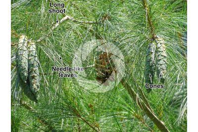 Pinus wallichiana. Himalayan pine. Strobilus