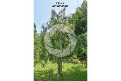 Pinus yunnanensis. Pino dello Yunnan