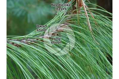 Pinus yunnanensis. Yunnan pine. Leaf