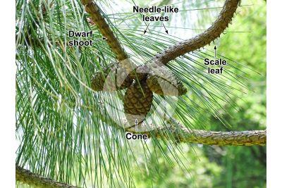 Pinus yunnanensis. Yunnan pine. Strobilus