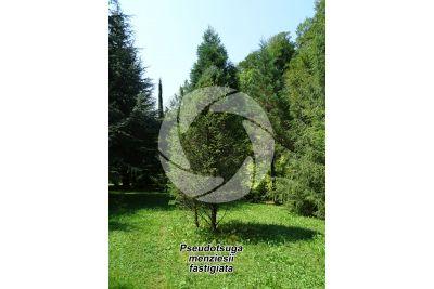 Pseudotsuga menziesii fastigiata. Douglas fir