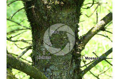 Pseudotsuga menziesii fastigiata. Douglas fir. Stem