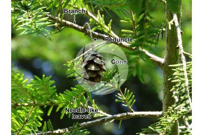 Tsuga canadiensis. Canadian hemlock. Strobilus