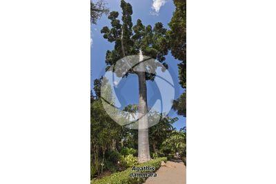Agathis dammara. Amboyna pine