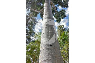 Agathis dammara. Amboyna pine. Stem