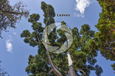 Agathis dammara. Amboyna pine. Leaf