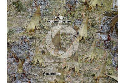 Araucaria araucana. Fusto