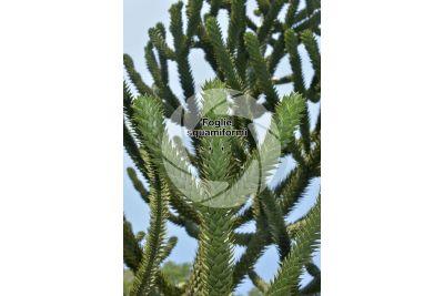 Araucaria araucana. Foglia