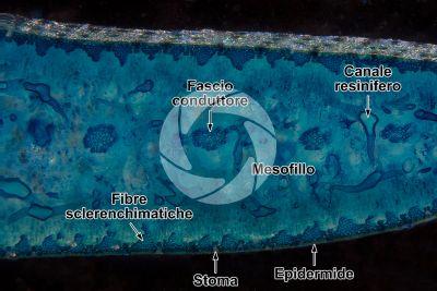 Araucaria araucana. Foglia. Sezione trasversale. Colorazione con blu di metilene. 64X