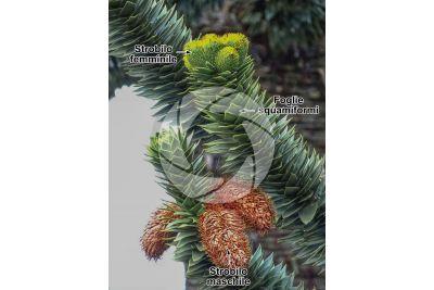 Araucaria araucana. Strobilo maschile