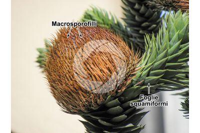 Araucaria araucana. Strobilo