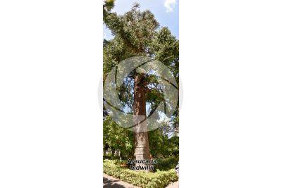 Araucaria bidwillii. Bunya pine