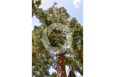 Araucaria bidwillii. Bunya pine. Stem