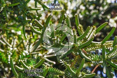 Araucaria bidwillii. Bunya pine. Male strobilus