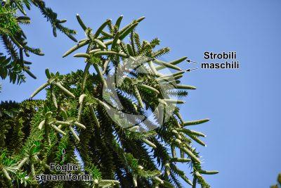 Araucaria bidwillii. Strobilo maschile