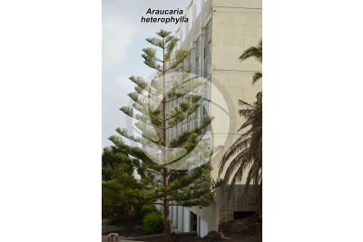 Araucaria heterophylla. Pino di Norfolk