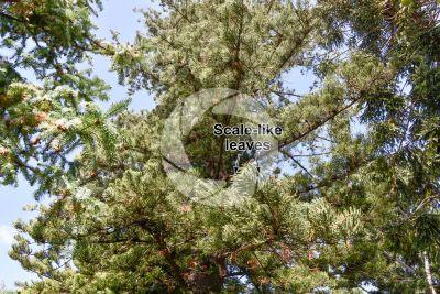 Araucaria heterophylla. Norfolk Island pine. Leaf