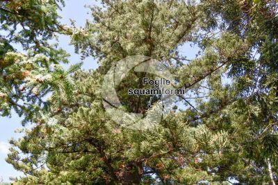 Araucaria heterophylla. Pino di Norfolk. Foglia
