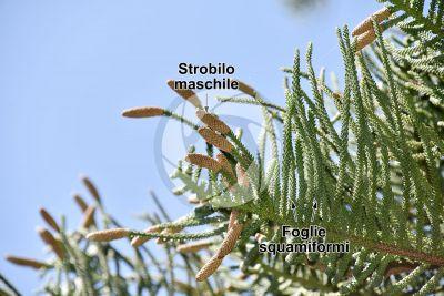 Araucaria heterophylla. Pino di Norfolk. Strobilo maschile