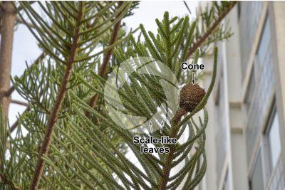 Araucaria heterophylla. Norfolk Island pine. Strobilus