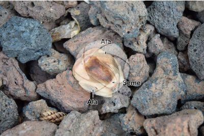 Araucaria heterophylla. Pino di Norfolk. Seme