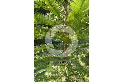 Wollemia nobilis. Fusto