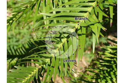 Wollemia nobilis. Stem. Upper surface