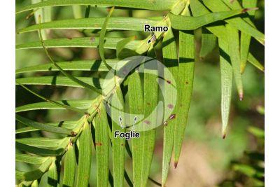 Wollemia nobilis. Fusto. Pagina superiore