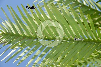 Wollemia nobilis. Fusto. Pagina inferiore