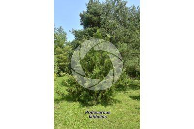 Podocarpus latifolius. Podocarpo