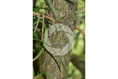 Podocarpus latifolius. Podocarpo. Fusto