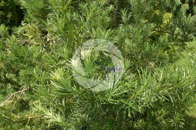 Podocarpus latifolius. Podocarpo. Foglia