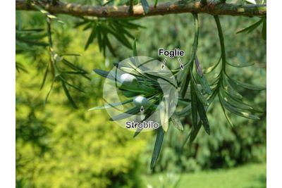 Podocarpus latifolius. Podocarpo. Strobilo