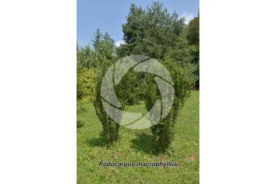 Podocarpus macrophyllus. Yew plum pine
