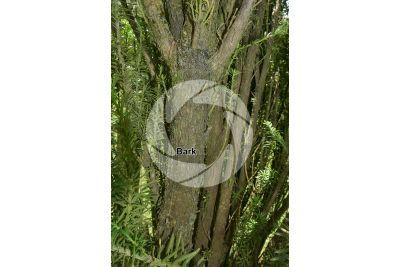 Podocarpus macrophyllus. Yew plum pine. Stem