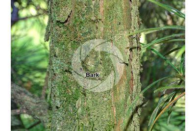 Sciadopitys verticillata. Japanese umbrella-pine. Stem