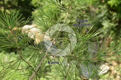 Sciadopitys verticillata. Pino parasole del Giappone. Foglia