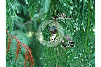 Callitropsis nootkatensis. Cipresso di Nootka. Strobilo