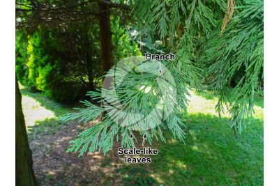 Calocedrus decurrens. California incense cedar. Leaf