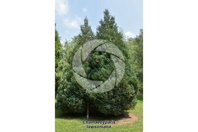 Chamaecyparis lawsoniana. Lawson cypress