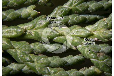 Chamaecyparis lawsoniana. Lawson cypress. Leaf. 5X