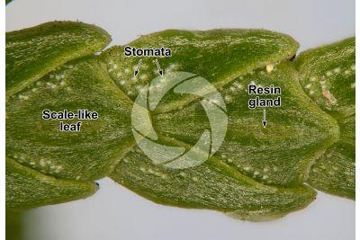 Chamaecyparis lawsoniana. Lawson cypress. Leaf. 30X