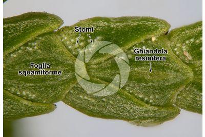 Chamaecyparis lawsoniana. Cipresso di Lawson. Foglia. 30X