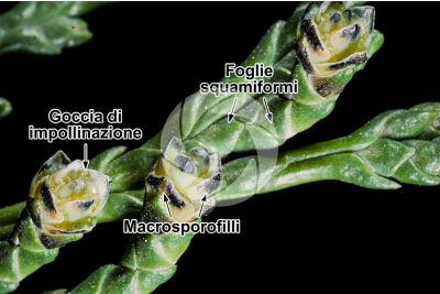 Chamaecyparis lawsoniana. Cipresso di Lawson. Strobilo femminile
