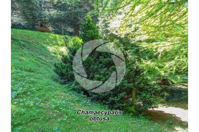 Chamaecyparis obtusa. Hinoki cypress