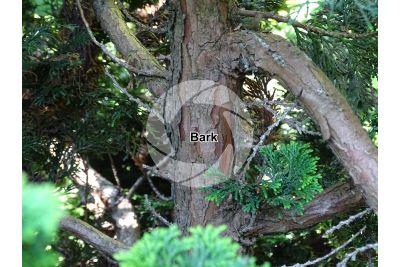 Chamaecyparis obtusa. Hinoki cypress. Stem