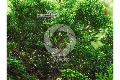 Chamaecyparis obtusa. Cipresso di Hinoki. Strobilo